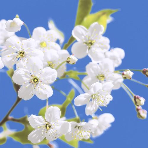20 Servietten Blossom & Sky 33x33cm