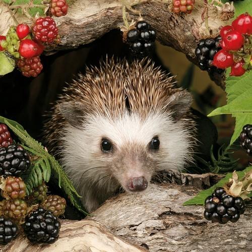 20 Servietten Hedgehog 33x33cm