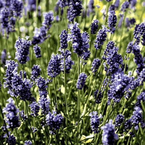 20 Servietten Lavendel Field 33x33cm