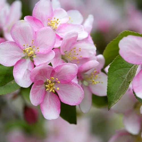 20 Servietten Apple Blossoms – Apfelblüten in der Natur 33x33cm